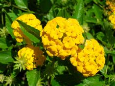 Lantana 'Chapell Hill Yellow'